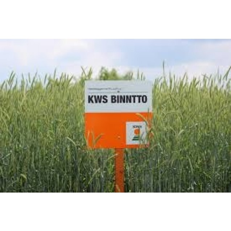Syysruis KWS Binntto hybridi 12yks.peitat